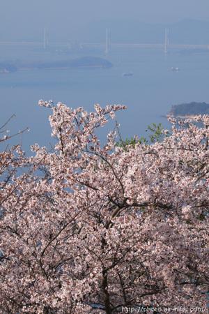 Sakura_ouji01t