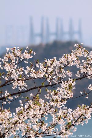 Sakura_s01t